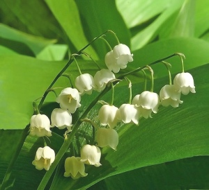 Lily of the Valley.  Photo by Henri Bonell