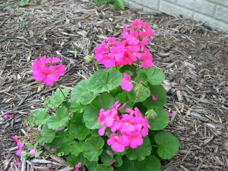 Mother's day Geranium